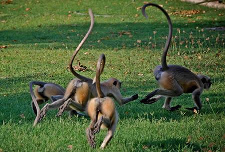 O caçador de macacos precisa ter muito fôlega