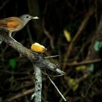 SABIÁ BARRANCO e algumas dicas para fotografar aves.