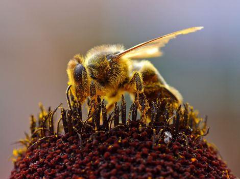 Abelha coletando polen