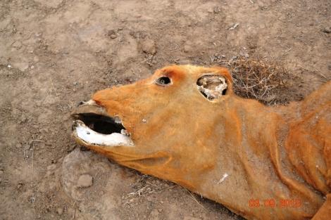 gado mutilado