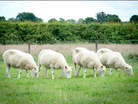 4 ovelhas clonadas