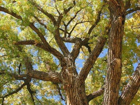 Cientistas da Universidade Estadual de Iowa modelaram suas folhas artificiais baseados nas folhas de uma árvore nativa americana