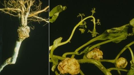 Planta infectada com agrobactéria
