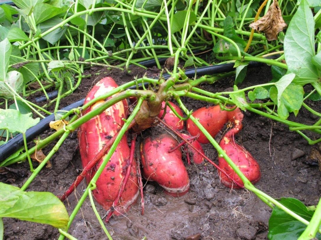 As batatas doces são geneticamente modificadas naturalmente