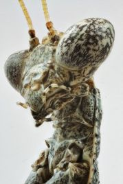 insectoid2