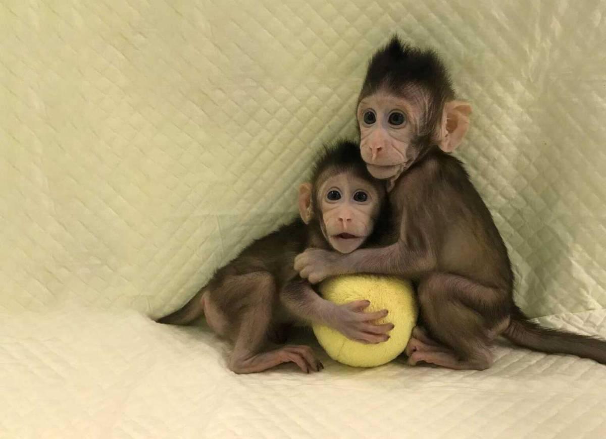 Cientistas clonaram macacos e os seres humanos podem ser os próximos